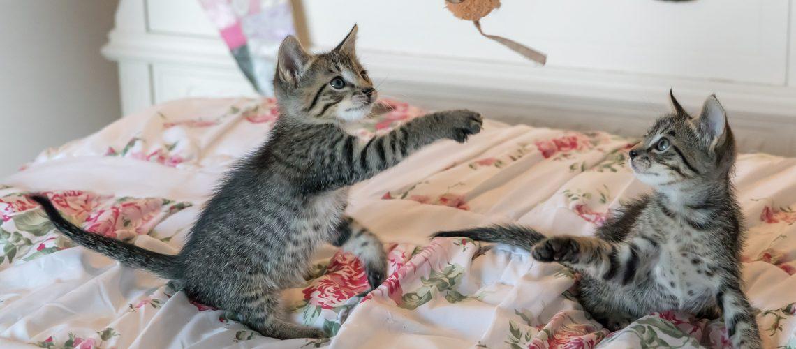 tabby-kittens-on-floral-comforter-160755